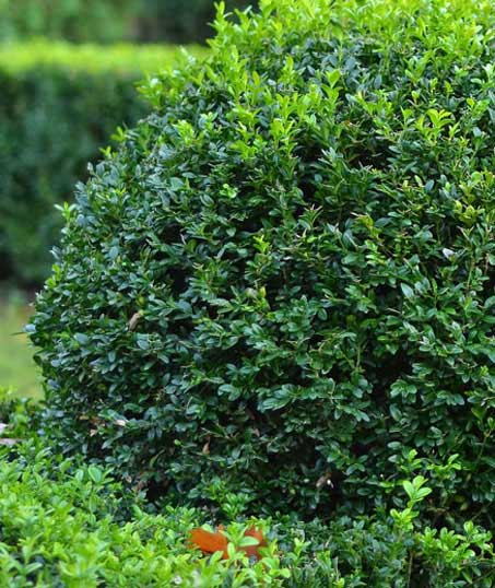U.S. Green Pros a division of AKA Landscapes Shrubs & Hedges